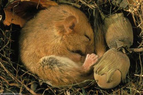 冬眠的动物