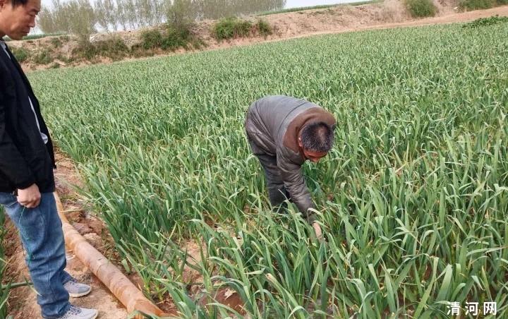 清河乡亲改种蒜,亩收能过万!油坊前魏村种蒜户占80%……